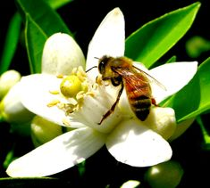 Juana Almaguer, Bee and Orange Blossoms