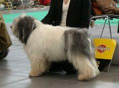 Polish Lowland Sheepdog - Pons Polish Lowland Sheepdog, Dog Breeds, Dogs, Animals, Animales, Animaux, Pet Dogs, Doggies, Animal