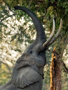 elephant eating leaves - Google Search