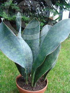 Sansevieria masoniana ( a.k.a. Sansevieria Mason's Congo )