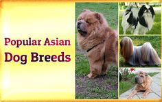 Popular Asian Dog Breeds  https://didyouknowpets.com/2017/06/28/popular-asian-dog-breeds/