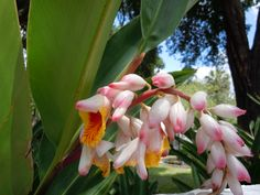 Gorgeous flowering ginger at the Maitland Art & History Museum in Maitland, Florida.