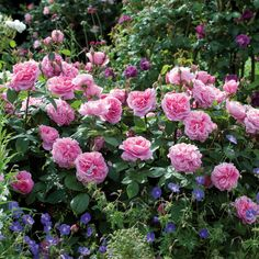 Gertrude Jekyll Twice Voted England's Favorite Rose, Double Blooms, Beautiful Rossette, Shrub Rose.
