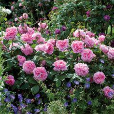 GERTRUDE JEKYLL  English Rose - bred by David Austin Shrub Rose