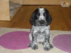pedigree show type cocker Puppys | Tavistock, Devon | Pets4Homes
