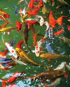 Koi--my dad always has these type fish in his pants where he in lives, in Illinois. Except the winter time.