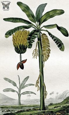 Banana. Musa sp. Bananas are botanically a berry. They are produced by a variety of large herbacious plants in the genus Musa. Illustration by Pierre Jean François Turpin (1775-1840)