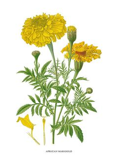 Botanical Print by Step of African Marigolds