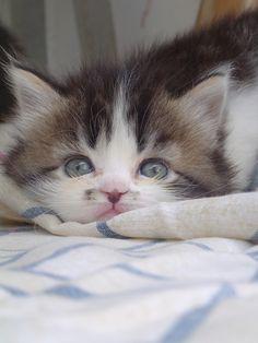 gorgeous blue eyed kitty