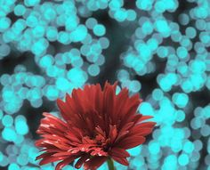 red flower with blue background