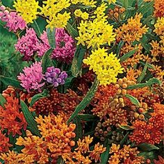 """""""Butterfly Weed"""" in a variety of colors.  Gets to be about a meter high.  Butterflies go bananas over this one."""