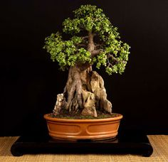Rock grown Bonsai of Portulacaria afra - Jade tree, age 25 years
