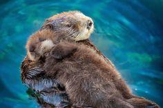 El Chicago's Shedd Aquarium dio a conocer en un vídeo la forma en la que llevan por primera vez a una nutria bebé al agua y así aprender a nadar. http://www.linio.com.mx/ninos-y-bebes/