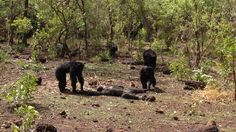 After a flurry of screams, teeth, and fur, the old leader lay beaten and dead. Members of the community turned on him, a male chimp known as Foudouko, in a rare example of lethal intragroup aggression. Reported in the journal Springer, Foudouko's rise to the top, and then plunge to death, reads like something from a Shakespearean tragedy. Thirteen years ago, a teenage Foudouko ruled the community of chimps at Fongoli in Senegal with an iron fist, maintaining the top spot as the alpha male…
