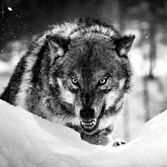I have done it so many times! It's gotten to the point that it ain't luck. Ever since childhood I have stared at death himself and winked. Every time I have come out unscathed, It isn't my time. Wolf Qoutes, Lone Wolf Quotes, Wolf Love, Bad Wolf, Wolf Spirit, My Spirit Animal, Animals And Pets, Cute Animals, Saarloos