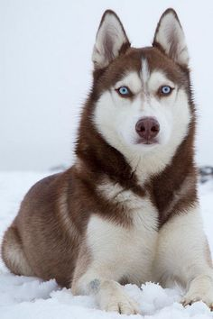 Siberian Husky at high alert