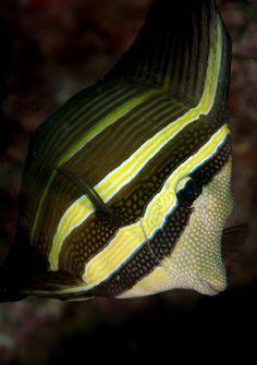 #sailfish #tang by edpdiver