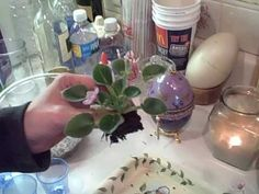 How To Start African Violets By Leaves & Water No Rooting Hormone Required - YouTube