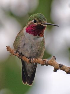 Ruby Throated Humming Bird Photographed by ED Morris