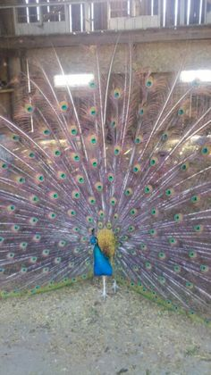A peacock at the DeMille's Farmer Market