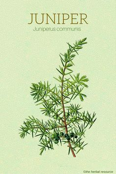Holistic Remedies The Herb Juniper (Juniperus communis) - Information on the Health Properties, Benefits and Side Effect of the Herb Juniper (Juniperus communis) And Its Traditional Uses in Folk Medicine Holistic Remedies, Natural Home Remedies, Herbal Remedies, Health Remedies, Healing Herbs, Medicinal Plants, Herbal Plants, Natural Herbs, Natural Healing