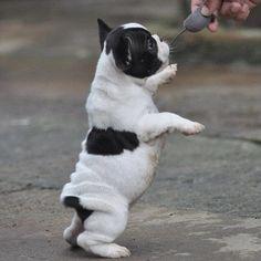 """""""Nackenrolle"""" Baby French Bulldog Puppy."""