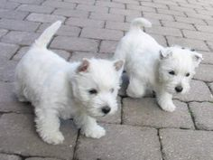 Baby westies...I want to come home with you Jarred