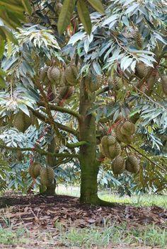 Budidayanya Garden Plants Vegetable, Garden Shrubs, Fruit Garden, Fruit Flowers, Fruit Plants, Planting Flowers, Durian Tree, Fruit World, Dwarf Fruit Trees