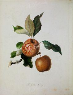 Golden Horvey Apple      ...