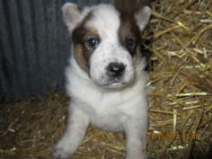 Red Australian cattle dog puppy bye cattle dogs rule! ready just in time for the best Christmas ever!n 12/4/14
