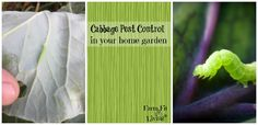 Cabbage Pest Control in the Home Garden via Farm Fit Living #rurallife