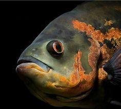 Oscar Fish Care and Tips - Making Oscar Aquarium Fish Wallpaper, Animal Wallpaper, Iphone Wallpaper, Colorful Fish, Tropical Fish, Tiger Oscar Fish, South American Cichlids, Aquarium Backgrounds, Desktop Backgrounds