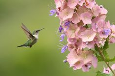 Mellisuga minima minima - Vervain Hummingbird | The tiny Ver… | Flickr - Photo Sharing!