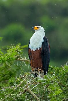 African Fish Eagle by Caesar Sengupta / 500px Bald Eagle, Animals, Birds Of Prey, African, Fish, Twitter, Animales, Animaux, Pisces