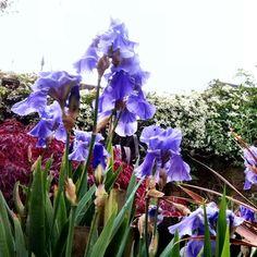 Iris germanica traditional-landscape