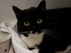 MYSTIC is an adoptable Domestic Short Hair Cat in Boston, MA.