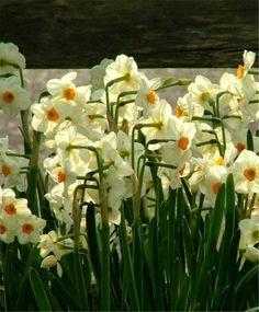 Narcissus Cragford - Tazetta Narcissi - Narcissi - Flower Bulb Index