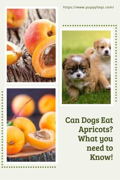 """""""My dog loves apricots!""""- you've probably heard this before. And to be honest, it's not that hard to understand why they're so popular with dogs! But can your pup eat them all the time without any problems? Find out here... I have a question about my pet - what should I do next? If you still need help after reading our article on whether or not your pooch can eat apricots, please leave us an email at liz@puppyfaqs.com and we'll get back as soon as possible. Happy puppy parenting? Fruits For Dogs, Apricot Seeds, Fruit List, Toxic Foods, Dried Strawberries, Can Dogs Eat, Dried Apricots, Happy Puppy, Dog Eating"""