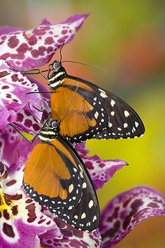 Pair of Tithorea tarricina the Spotted Tiger Glassywing Butterfly