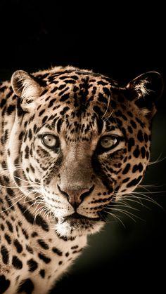 Wild Photography, Animal Photography, Beautiful Cats, Animals Beautiful, Dangerous Cat, Animals And Pets, Cute Animals, Panther Pictures, Jaguar Animal