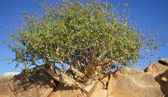 Myrrh (Commiphora myrrha) Bush