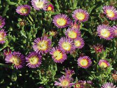 On cherche toujours LA vivace couvre-sol qui fleurit tout l\'été, celle dont la floraison court sur plusieurs mois, la vivace qui ne s\'arrête jamais de fleurir, celle qui garnit et...