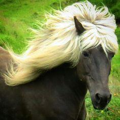 Icelandic horse #horse #iceland #beauty Photo : Helma Þorsteinsdóttir All The Pretty Horses, Beautiful Horses, Animals Beautiful, Icelandic Horse, All About Horses, Horse Photos, Zebras, My Animal, Great Photos