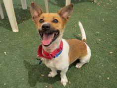 Adopt Jessie from the Arizona Animal Welfare League   January 17, 2014 - what a happy little guy, so sweet