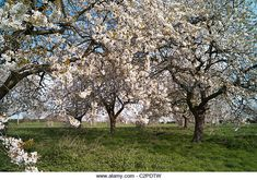 Find the perfect old fruit tree uk stock photo. Fruit Trees Uk, Landscape Paintings, Landscapes, Herefordshire, Orchards, Cherry Tree, English Countryside, Wildflowers, Paisajes