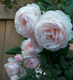 HERITAGE - David Austin Rose, 1984. Strong 'carnation and fruity on a myrrh fragrance. It has a Hybrid Musk foliage.