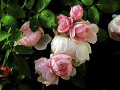 Windsor Roses