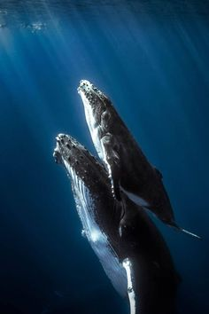 Happy Start your day off by making a difference for whales and other marine mammals. The Marine Mammal Protection Act… mammals Orcas, Beautiful Creatures, Animals Beautiful, Photo Animaliere, Delphine, Water Life, Ocean Creatures, Blue Whale, Humpback Whale