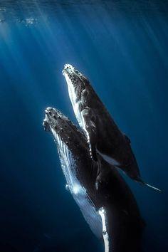 Humpback Whale Breaches In Clearing Fog Art Print by John