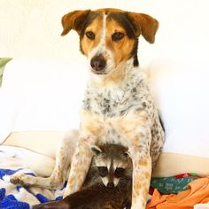 Pumpkin the raccoon, raised by dogs, thinks she is one